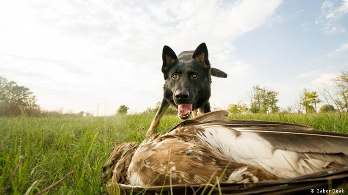 El perro rastreador de crímenes contra la vida silvestre, Falco, con un ave rapaz envenenada.