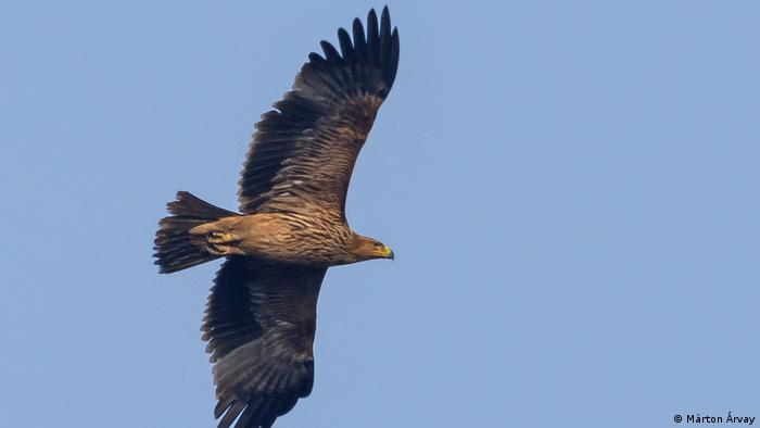 Águila imperial oriental, Hungría.