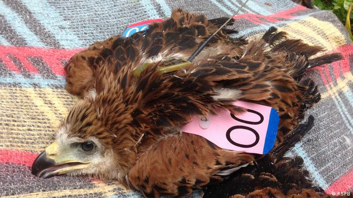 Wildlife Conservation Research - Red kite chick