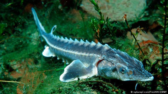 Wildlife Conservation Research - Danube sturgeon