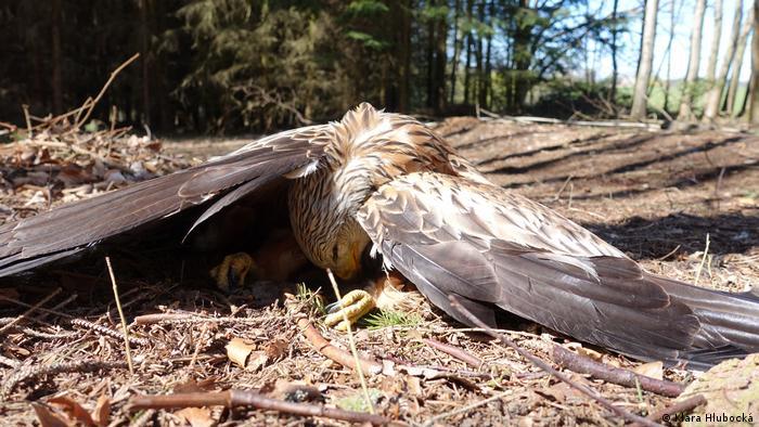 Wildlife Conservation Research - Global Ideas Raubvogel (Klára Hlubocká)