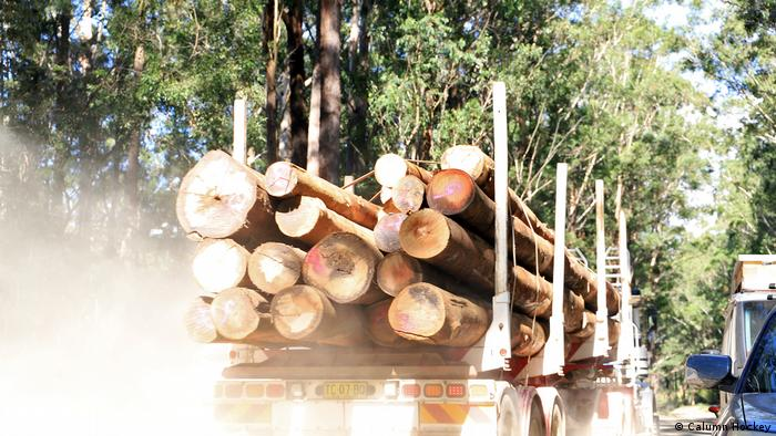 Logging in New South Wales threatens important areas of Koala habitat