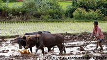 Rice paddy fields. Farmer ploughing field with traditional primitive wooden oxen-driven . Madagascar. | Verwendung weltweit