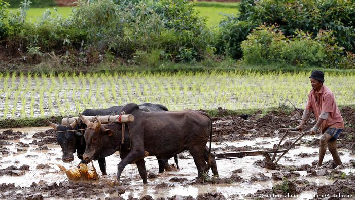 Cultivo de arroz na província de Antananarivo: É grande a desigualdade social entre ricos e pobres