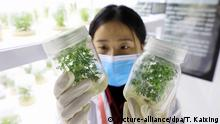 RONG'AN, CHINA - APRIL 22, 2020 - A researcher looks at Artemisia annua seedlings cultivated in nutrient solution in the National Germplasm Resource Bank of Artemisia annua, Rong'an County, Guangxi Province, China, April 22, 2020. April 25 is World Malaria Day.   Verwendung weltweit