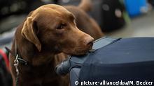 Drogenspürhunde am Flughafen