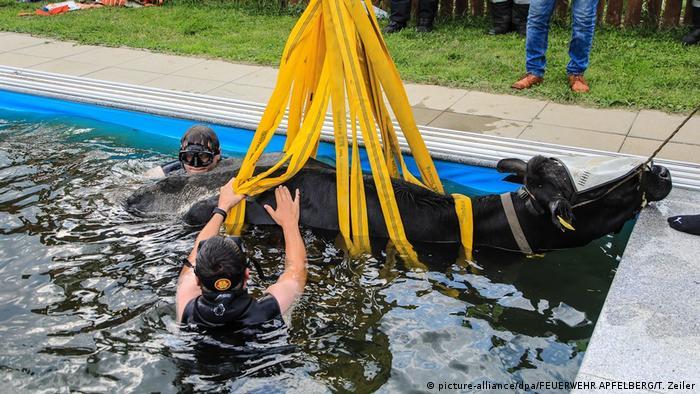أبت بقرة إلا أن تخلق الحدث على طريقتها الخاصة في النمسا. البقرة وجدت نفسها على حين غرة عالقة في حمام سباحة.