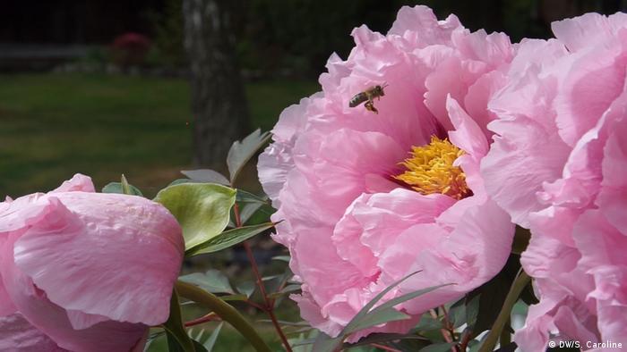 Bienen in Pflingstrose