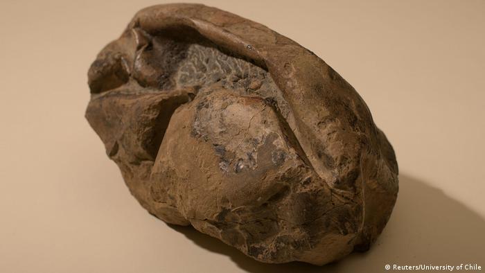 كان باحثون من تشيلي عثروا على الأحفورة في 2011 وحفظوها في متحف بعد أن فشلوا في تصنيفها.