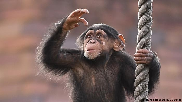Chimpanzee holding on to rope