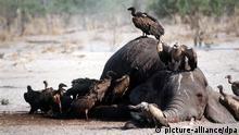 03.09.2015, Savuti, Botswana, ARCHIV- Eine Gruppe Geier schart sich um den Kadaver eines Elefanten, um ihn langsam aber sicher fast vollständig bis auf die Hülle aufzufressen, aufgenommen 1999 in Savuti/Botswana. Foto:Philips/dpa (Zu dpaGeier im Sturzflug: WWF warnt vor Sterben der Aasfresser in Afrika vom 03.09.2015) +++(c) dpa - Bildfunk+++   Verwendung weltweit