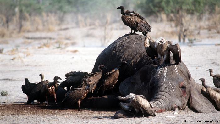Туша погибшего слона в Африке