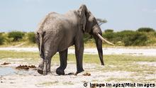 Elefant mit Stoßzähnen in Botswana (Imago Images/Mint Images)