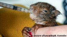 Baby-Eichhörnchen werden aufgepäppelt