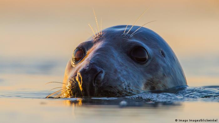 A seal pops his head out of the water (Imago Images/blickwinkel)