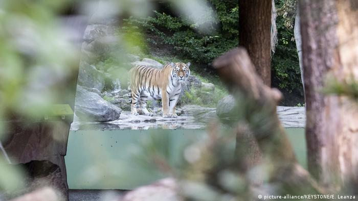 The tiger Sayan in the restricted area at the Zoo Zurich (picture-alliance/KEYSTONE/E. Leanza)