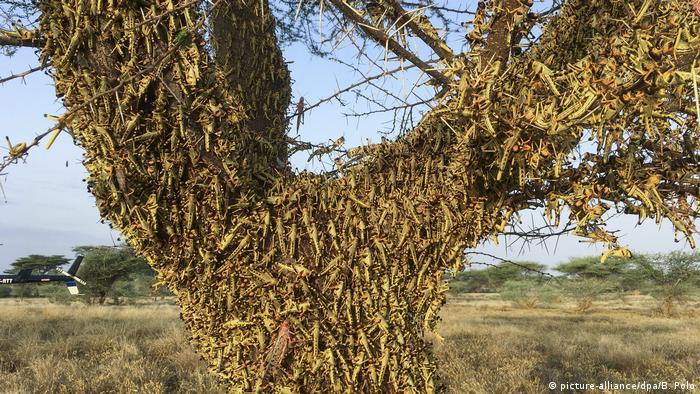 Kenia Heuschreckenplage