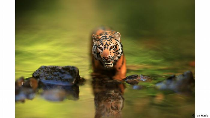 Photo from series 'Lockdown wildlife': Bengal Tiger stalking prey in the river Lockdown (Ian Wade)