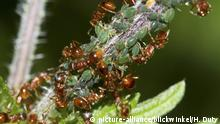 Ameisen melken Blattlaeuse, ants milking aphids