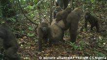 Nigeria | Gorillas (picture-alliance/AP Photo/WCS Nigeria)