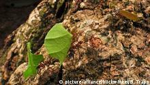 Teil eines Baumstammes (picture-alliance/blickwinkel/B. Trapp)