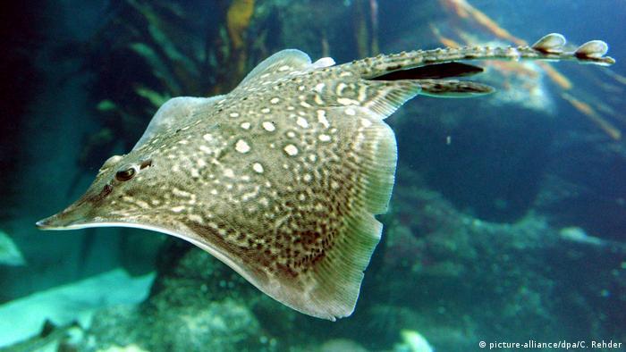 Морская лисица в аквариуме Форума Ваттового моря (Multimar Wattforum) в Тённинге