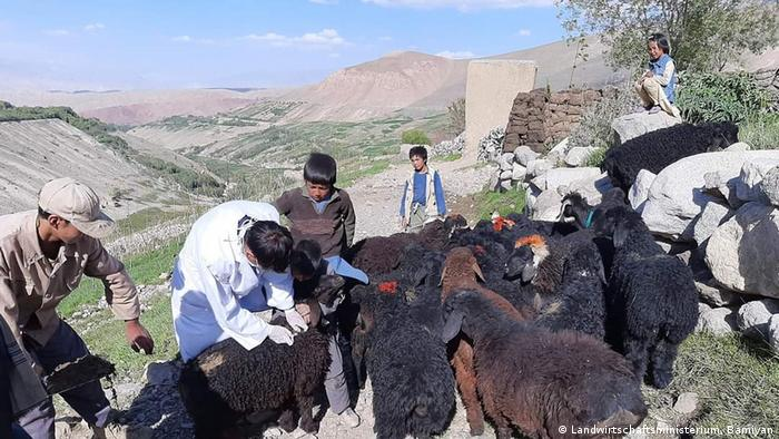 Tierimpfstoffe in Bamiyan in Afghanistan