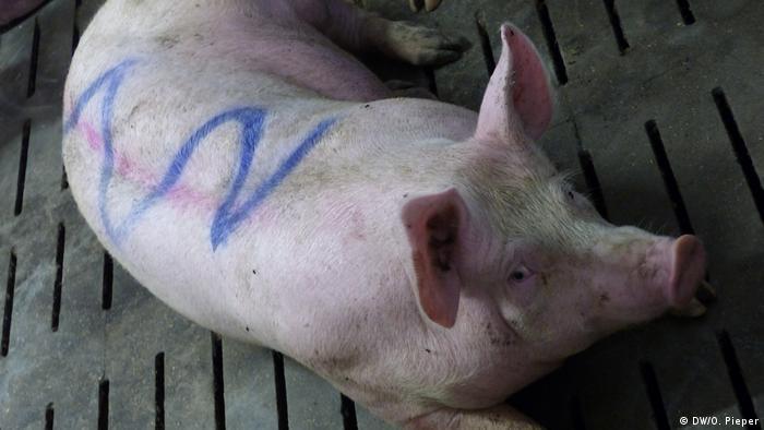 Ein Schwein von Schweinebauer Florian Hollmann liegt auf dem Boden in einem Stall