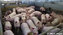 Deutschland Rheda-Wiedenbrück | Schweinebauer Florian Hollmann kann seine Tiere nicht zur Schlachtfabrik schicken