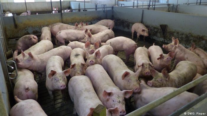 Mehrere Schweine stehen in einem Stall