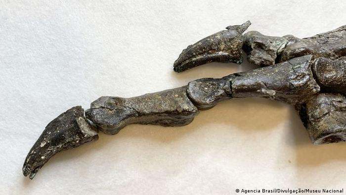 Detalhe da pata do dinossauro 'Aratasaurus museunacionali'
