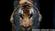 Bengal-Tiger (picture-alliance/U. Aung)