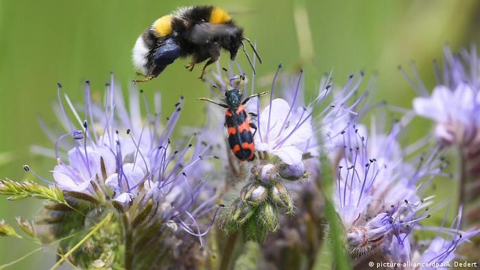 Una abeja llega a una flor que ya está ocupada por un escarabajo. La lucha por el néctar es cada vez dura para las productoras de miel, un producto lleno de bondades alimenticias y medicinales. Los botánicos recomiendan sembrar más plantas de balcón. A pesar de la contaminación, las flores de la ciudad son más sanas para las amenazadas abejas: no son tratadas con herbicidas como en muchos campos.