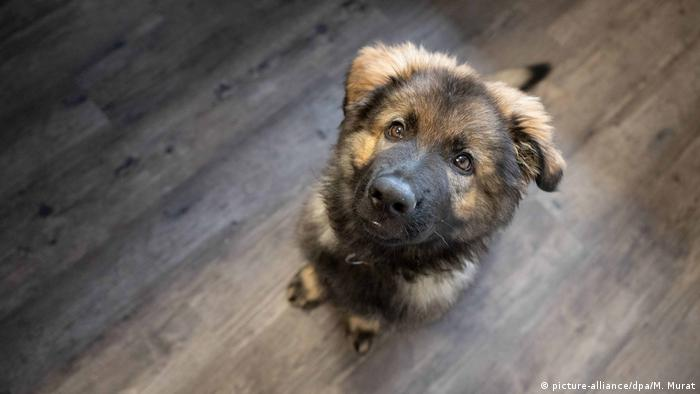 A German Shepherd puppy looking up at his owner