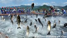 Symbolbild: Ganz viele größere Fische springen mit zappelnden Schwänzen aus dem Wasser