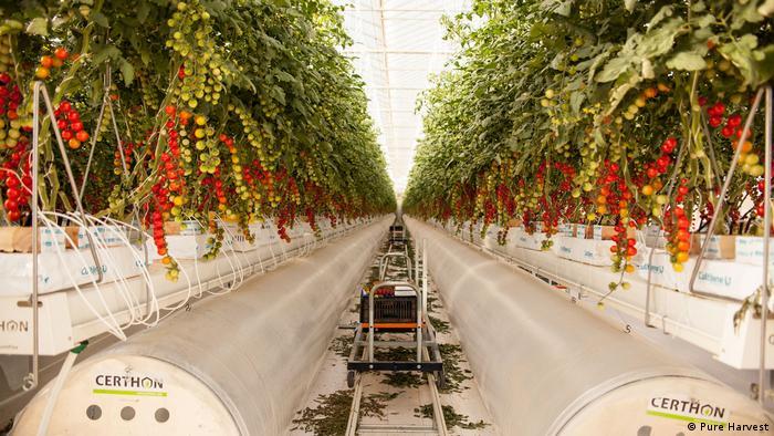 Tomato plants in the desert greenhouses