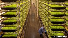 Rows of plants grown in doors Schlagwörter: Global Ideas, Farming Credit: Aerofarms Bilder aus der DW-Sendung Global Ideas