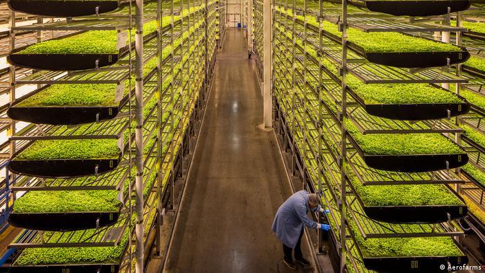 Kräuter wachsen in Beeten in Regalen in einer vertikalen Farm