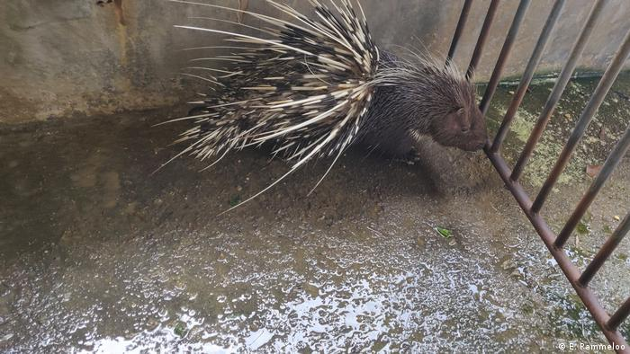 An adult porcupine in an enclosure at Wang Haozhu's farm