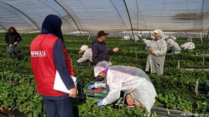 Moroccan women picking strawberries on a field in Spain