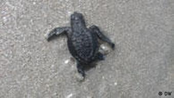 Eine frisch geschlüpfte Schildkröte macht sich auf den Weg ins Wasser (Foto: DW/Sonja Gillert)