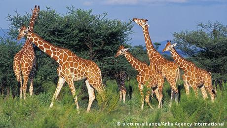 Giraffes feed on acacia trees