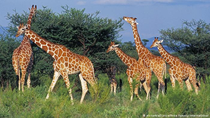 Giraffes feed on acacia trees