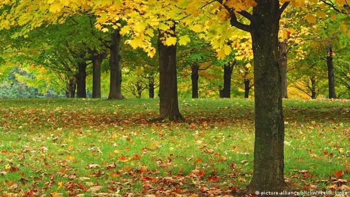 A grove of maple trees