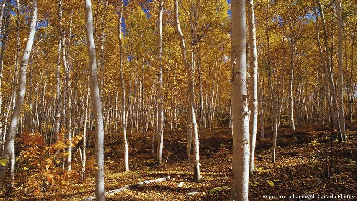 A grove of paper birch trees