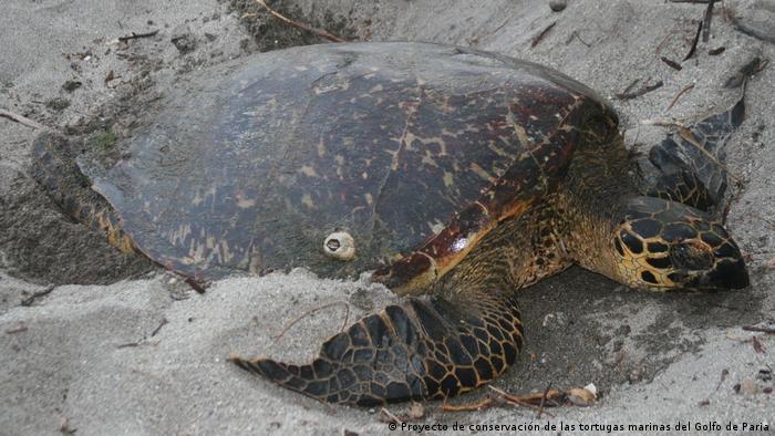 Energy Global Preis für Venezuela | Schutz für Schildkröten, im Golfo de Paria (Proyecto de conservación de las tortugas marinas del Golfo de Paria)