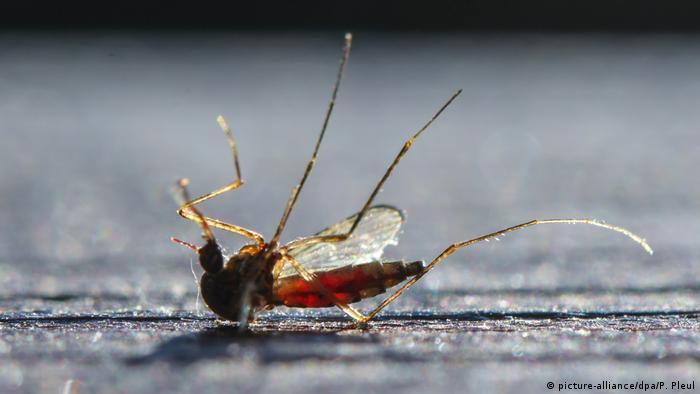 A dead mosquito