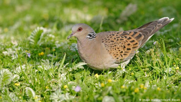 A brown speckled turtle dove on the ground