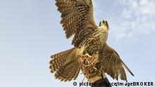 Falkner mit seinem Falken