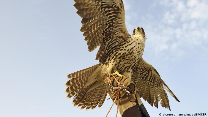Falkner mit seinem Falken (picture-alliance/imageBROKER)
